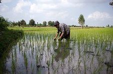 همه چیز درباره مراحل تولید برنج در شمال کشور