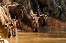 شکار دلخراش یک گاو وحشی توسط کروکودیل