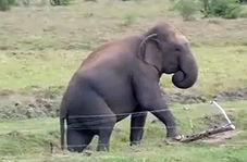 از عاقبت دخالت در دعوای گاوها تا فیلهای باهوشی که از روی حصارهای برقی عبور میکنند