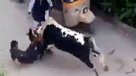 مجروح شدن یک مرد توسط گاو!