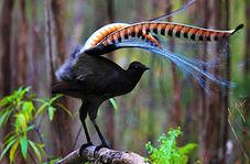 تقلید صدای اره برقی و شاتر دوربین عکاسی توسط پرندهای نادر