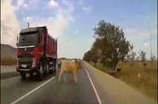 مرگ دردناک یک گاو پس از تصادف شدید با خودرو