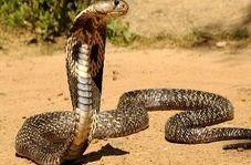 شکارچی شجاعی که به طرز ماهرانهای مارهای سمی را شکار میکند
